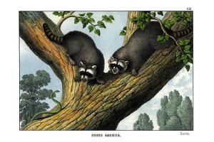 Racoon, 1860