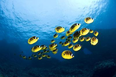 Racoon Butterflyfish--Photographic Print