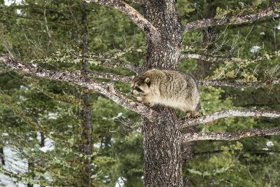Racoon (Raccoon) (Procyon Lotor), Montana, United States of America, North America-Janette Hil-Photographic Print