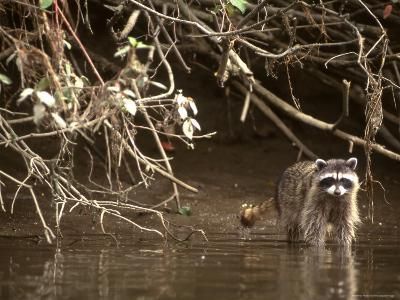 Racoon Walks into Creek for a Drink of Water-Kate Thompson-Photographic Print