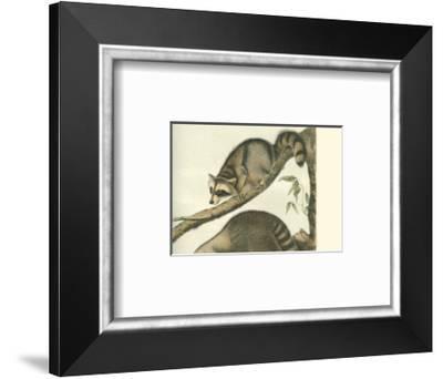 Racoon-John James Audubon-Framed Art Print