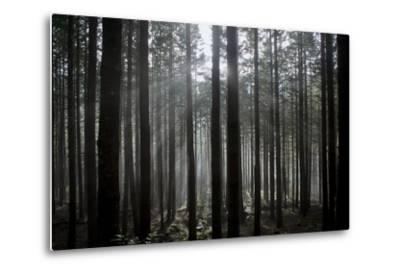 Pine Forest with Rays of Light Shining Through Trees, Montado Do Barreiro Natural Park, Madeira