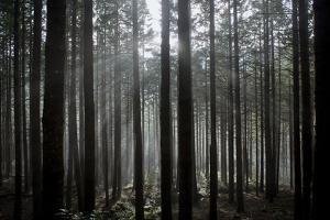 Pine Forest with Rays of Light Shining Through Trees, Montado Do Barreiro Natural Park, Madeira by Radisics