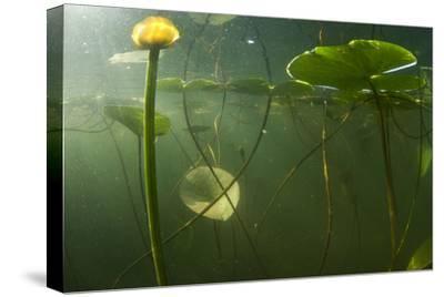 Yellow Water Lilies (Nuphar Lutea) Viewed from Underwater, Lake Skadar, Lake Skadar Np, Montenegro