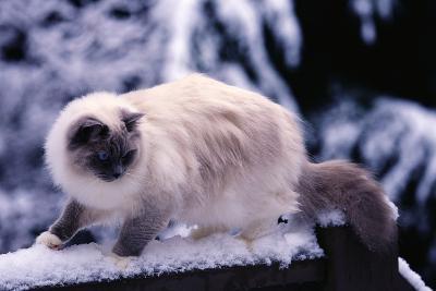 Ragdoll Cat on Fence-Darrell Gulin-Photographic Print
