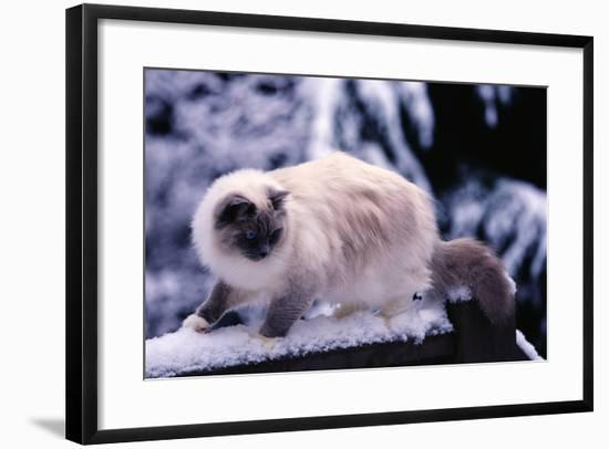 Ragdoll Cat on Fence-Darrell Gulin-Framed Photographic Print