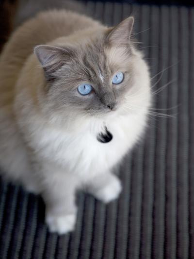 Ragdoll Cat-Savanah Stewart-Photographic Print
