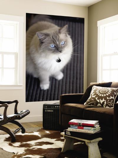 Ragdoll Cat-Savanah Stewart-Wall Mural