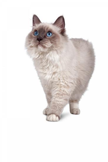 Ragdoll Cat-Fabio Petroni-Photographic Print
