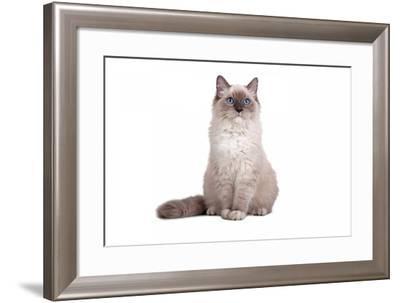 Ragdoll Cat-Fabio Petroni-Framed Photographic Print