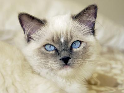 Ragdoll Kitten-Savanah Stewart-Photographic Print