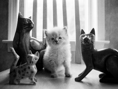 Ragdoll Kitten-Kim Levin-Photographic Print