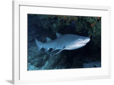 Ragged-Tooth Shark under a Colorful Coral Ledge, South Africa-Stocktrek Images-Framed Photographic Print