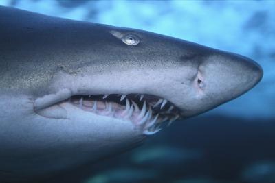 Ragged Tooth Shark-DLILLC-Photographic Print