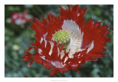 Raglin Red Poppy-Meg Mccomb-Giclee Print