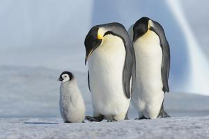 Emperor Penguin by Raimund Linke