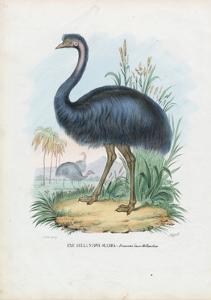 Emu, 1863-79 by Raimundo Petraroja