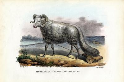 Fat-Tailed Sheep, 1863-79