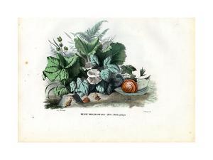 Helix Snails, 1863-79 by Raimundo Petraroja
