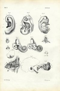 Organ of Hearing, 1863-79 by Raimundo Petraroja