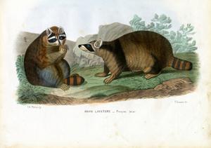 Raccoon, 1863-79 by Raimundo Petraroja