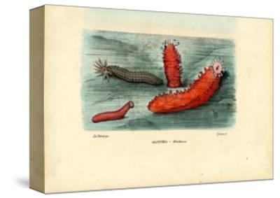 Sea Cucumber, 1863-79