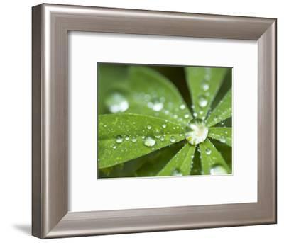 Rain Collected on Arctic Lupine, Cathedral Lake Provincial Park, British Columbia, Canada-Paul Colangelo-Framed Photographic Print
