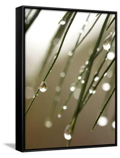 Rain Drops on Pine Branch Needles-Ellen Kamp-Framed Canvas Print