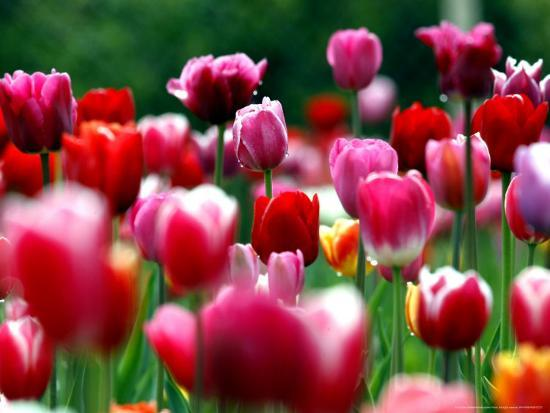 Rain Drops Twinkle on Blooming Tulips on a Field near Freiburg, Germany-Winfried Rothermel-Photographic Print