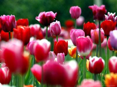 https://imgc.artprintimages.com/img/print/rain-drops-twinkle-on-blooming-tulips-on-a-field-near-freiburg-germany_u-l-q10ooly0.jpg?p=0