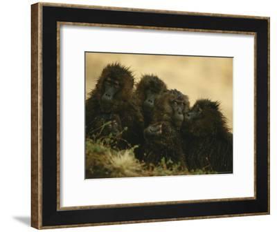 Rain-Soaked Female Geladas Huddle Together--Framed Photographic Print