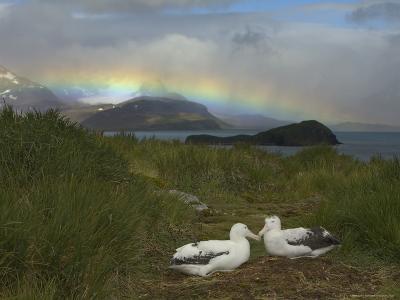 Rainbow and Wandering Albatross Nest Site, Prion Island, South Georgia-Ralph Lee Hopkins-Photographic Print