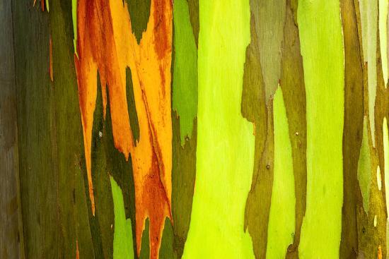 Rainbow Eucalyptus bark, Mindanao Gum, Island of Kauai, Hawaii, USA-Russ Bishop-Premium Photographic Print