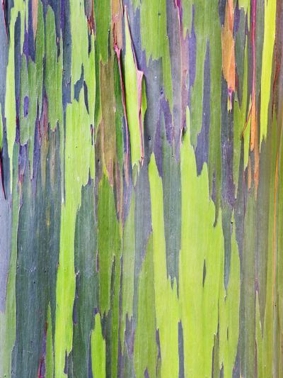 Rainbow Eucalyptus Trunk Near Hana, Maui, Hawaii, Usa-Rob Tilley-Photographic Print