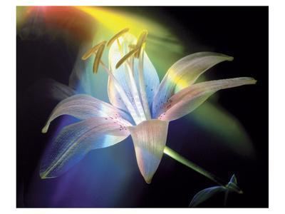 https://imgc.artprintimages.com/img/print/rainbow-lily_u-l-f7498p0.jpg?p=0