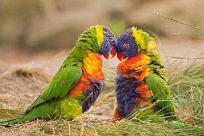 Rainbow Lorikeets (Trichoglossus Haematodus) Fighting- miroslav_1-Photographic Print