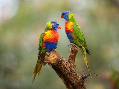 Rainbow Lorikeets, Trichoglossus Haematodus-Joel Sartore-Photographic Print