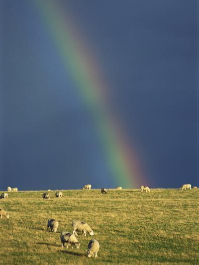 Rainbow over Sheep Grazing on Exmoor, Somerset, England, United Kingdom, Europe-Rob Cousins-Photographic Print