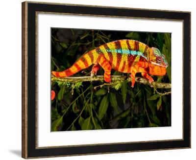 Rainbow Panther Chameleon, Fucifer Pardalis, Native to Madagascar-David Northcott-Framed Photographic Print