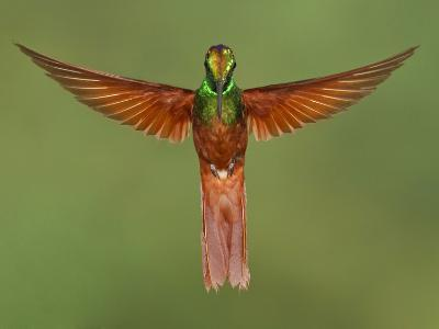 Rainbow Starfrontlet (Coeligena Iris) Hovering Near a Flower, Utuana Reserve, Ecuador-Glenn Bartley-Photographic Print