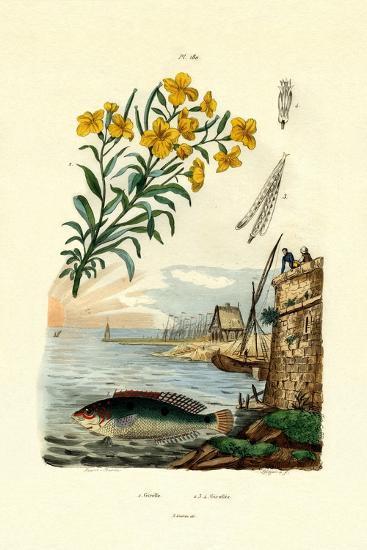 Rainbow Wrasse, 1833-39--Giclee Print