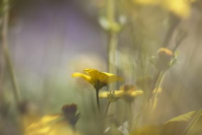 Rainbows and Buttercups-Valda Bailey-Photographic Print