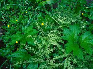 Raindrops on buttercups (Ranunculus) and Sword Fern (Polystichum munitum), Columbia River Gorge...