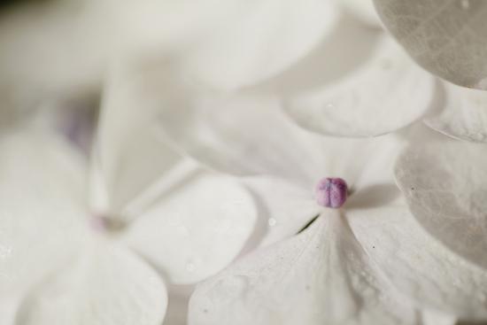 Raindrops on Petals-Roberta Murray-Photographic Print