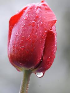 Raindrops on Tulips in Glottertal, Southern Germany