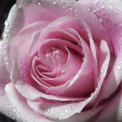 Raindrops & Roses III-Monika Burkhart-Photo
