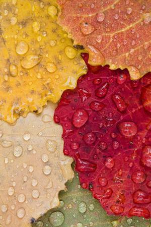 Autumn Leaves, Drops of Water, Close-Up