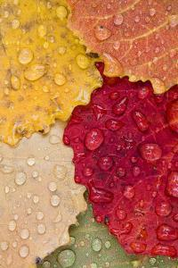 Autumn Leaves, Drops of Water, Close-Up by Rainer Mirau