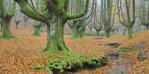 Beech Forest in the Gorbea Nature Reserve, Foliage, Moss, Brook, Basque Country, Spain by Rainer Mirau