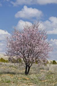 Blossoming Tree Close Konya, Anatolia, Turkey by Rainer Mirau